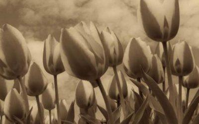 Tulpenbroeierij